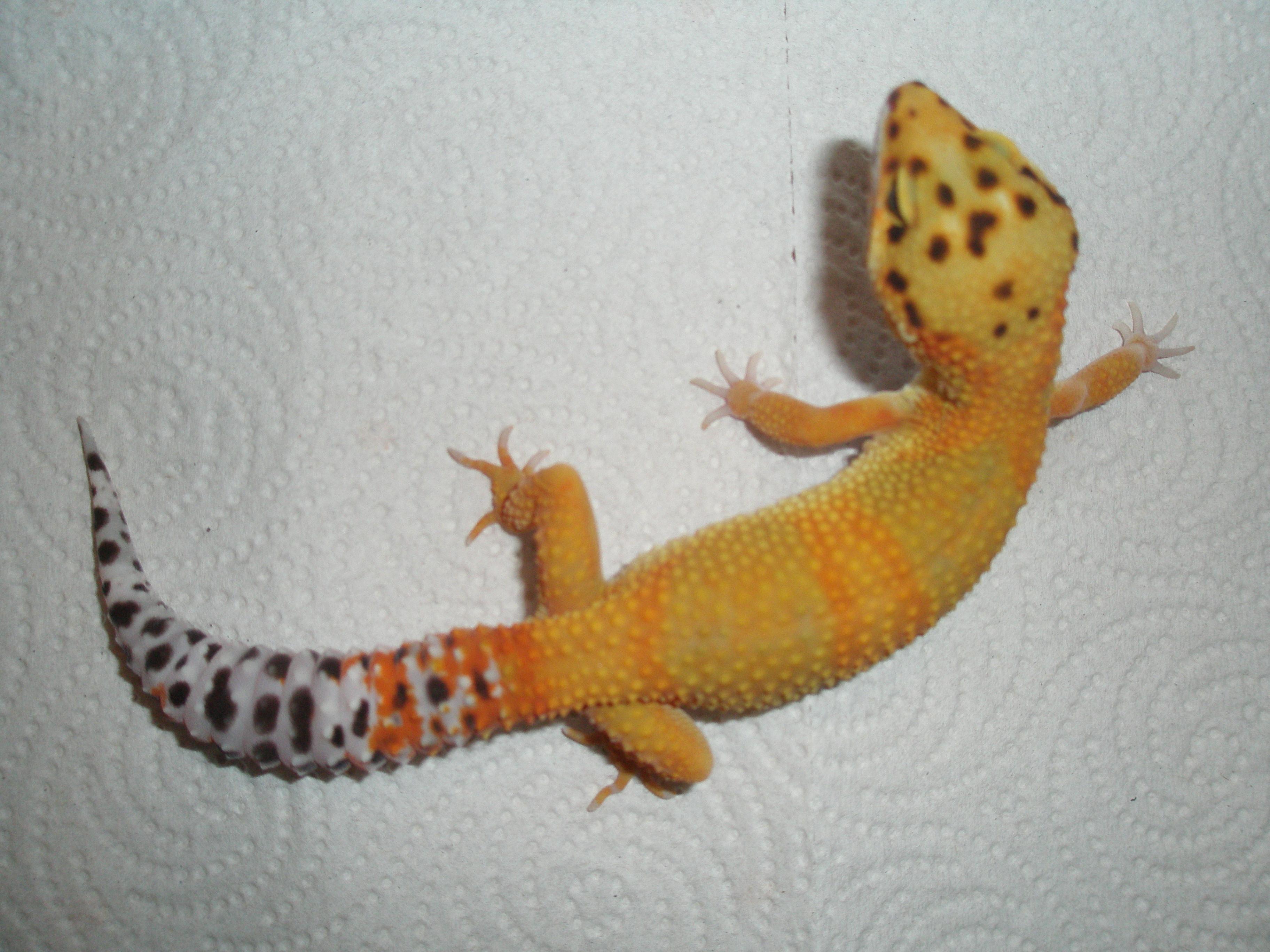 K Snow Tremper Albino Leopard Gecko Best 2017 Hyper Xanthic
